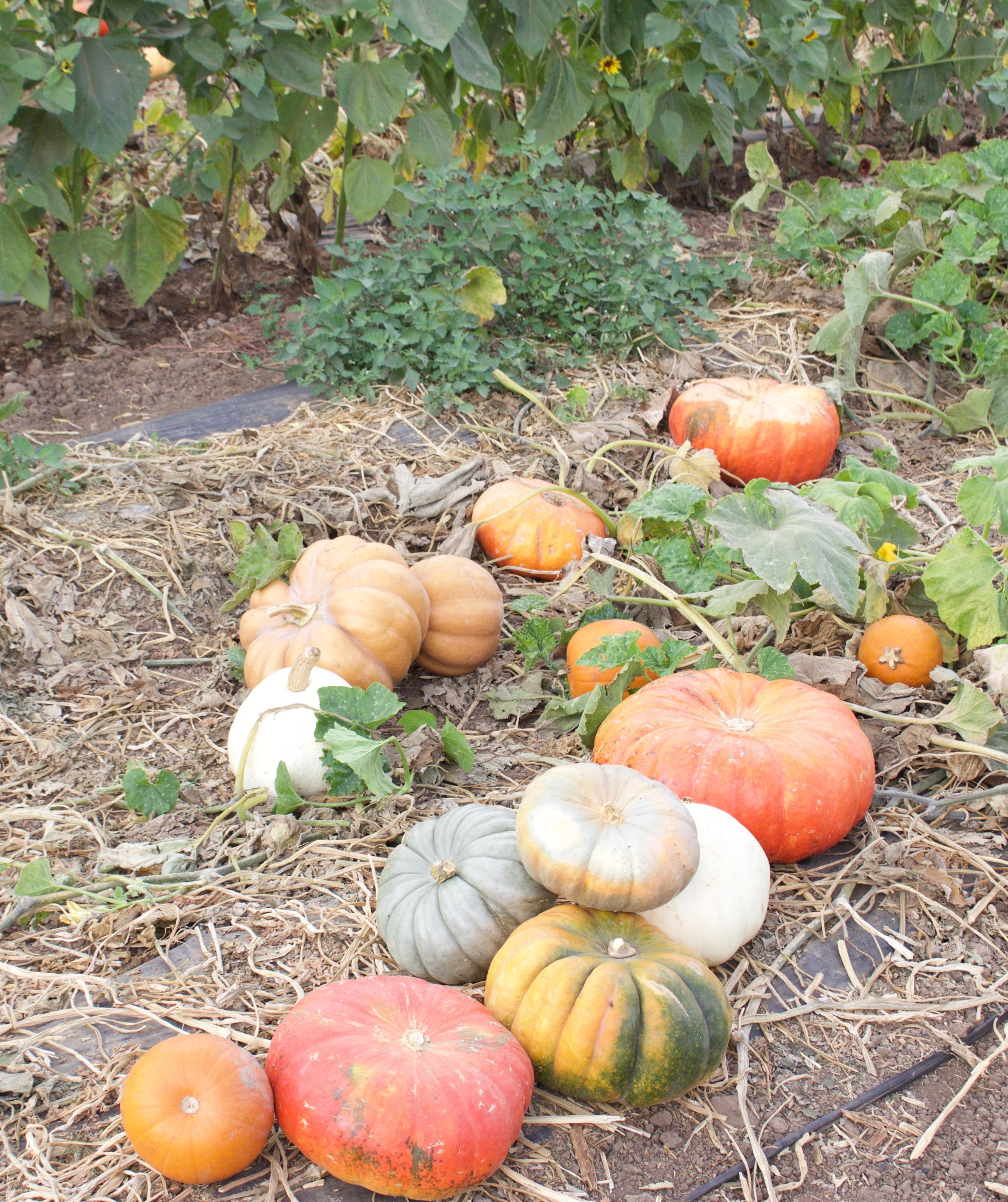 orange county pumpkin patch