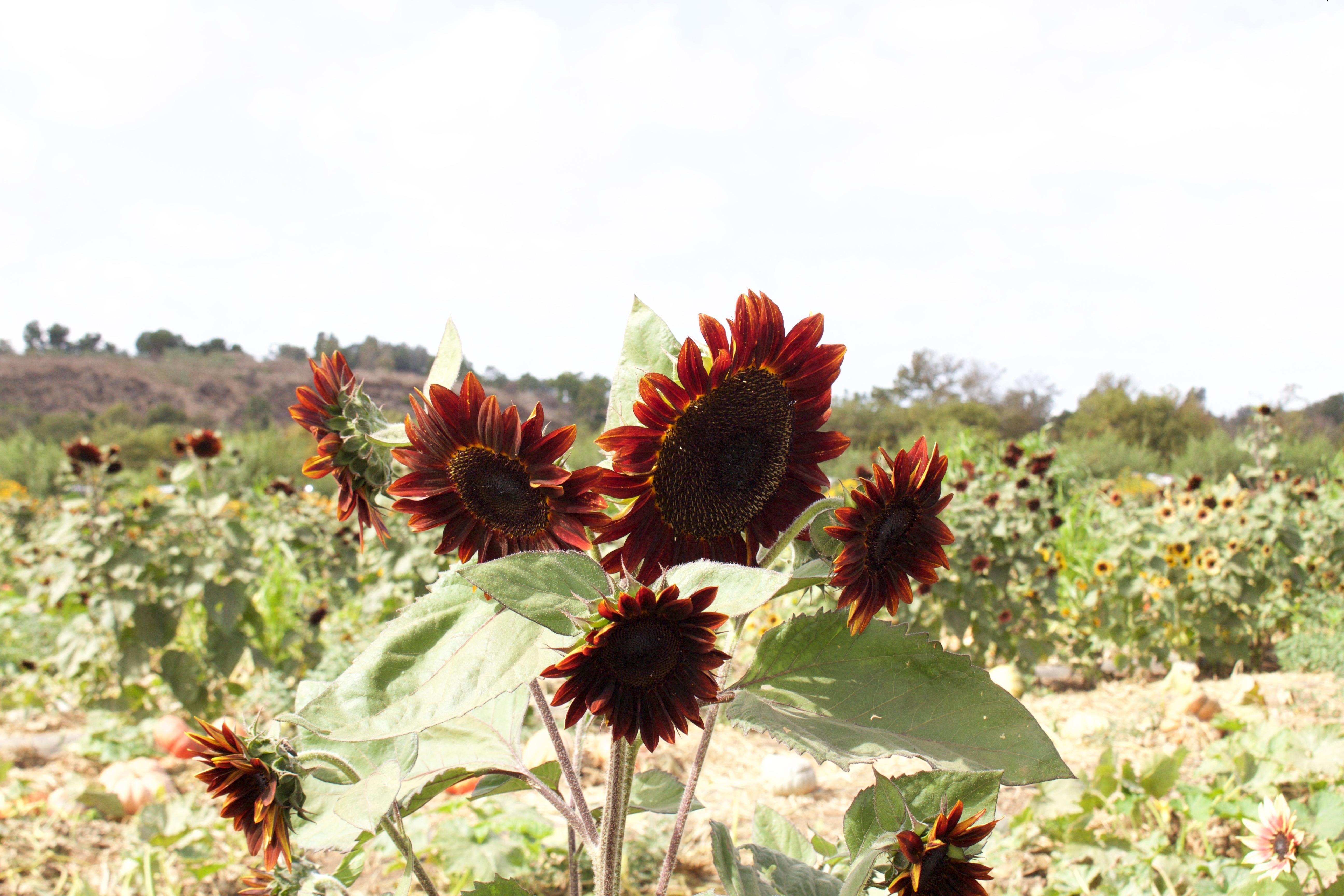 tanaka farms sunflowers