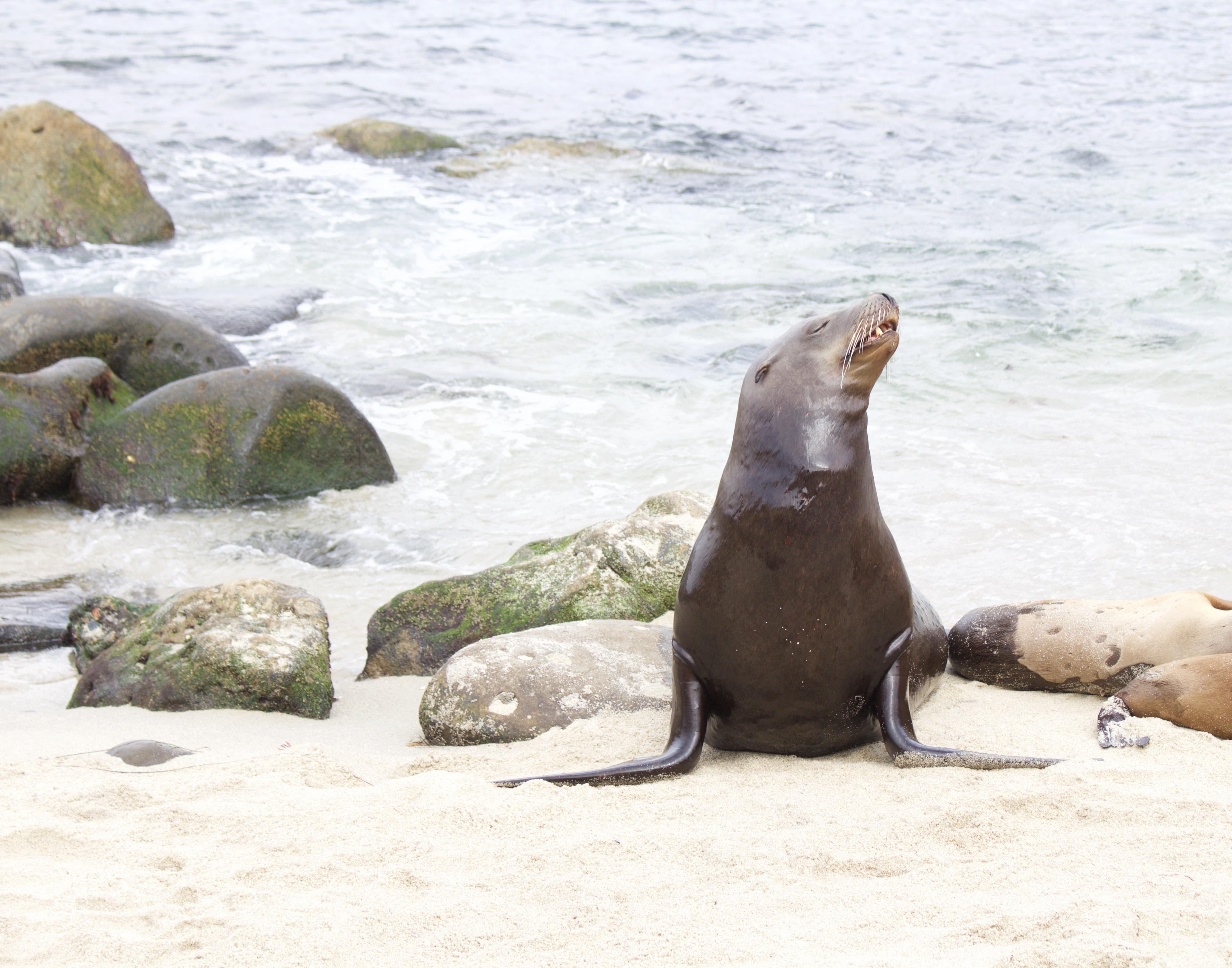 seal - la jolla cove - My Styled Life